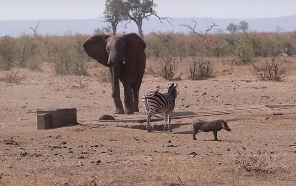 Бой слона и кабана у водопоя сняли на видео
