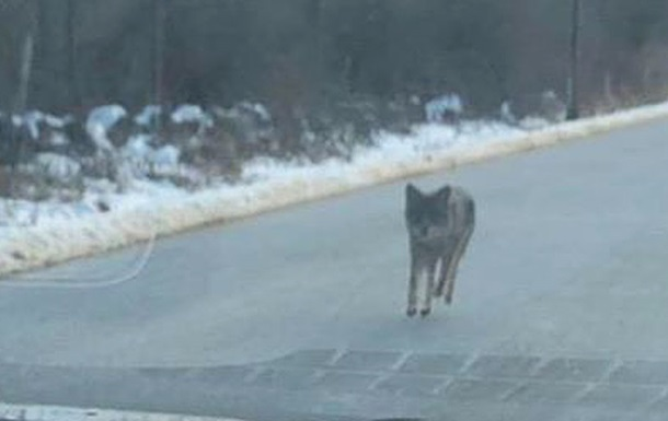 Отец спас сына, убив койота голыми руками
