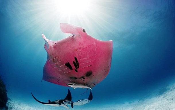 Фотограф снял уникального розового ската: фото