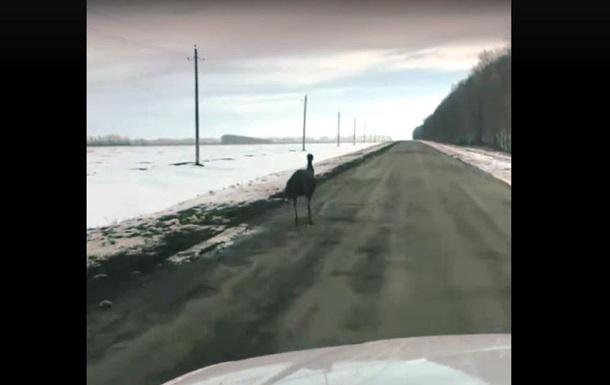 В России сняли бежавшего по зимней дороге страуса