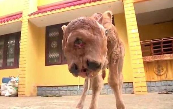 Двуликий теленок-мутант стал звездой в Индии