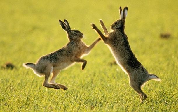 Забавная драка зайцев попала на видео