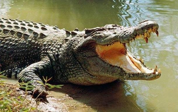 Огромный крокодил съел корову на глазах у туристов