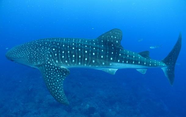 Туристы сняли 10-метровую акулу возле своей лодки