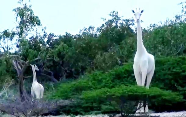Браконьеры убили двух уникальных белых жирафов