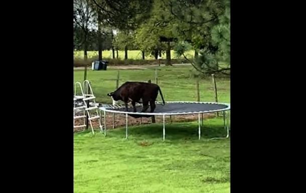 Корова на батуте рассмешила сеть