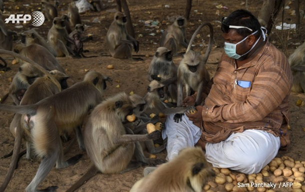 Обезьяны в Индии голодают из-за коронавируса