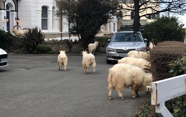 В Уельсі стадо кіз заполонило спорожніле місто