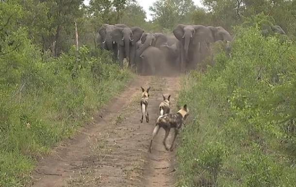 Слоны защитили своих детенышей от стаи хищников