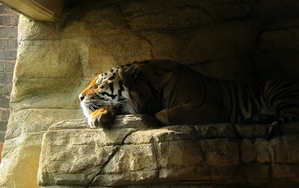 Тигрица из Нью-Йорка заразилась COVID-19