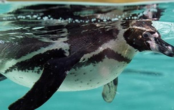 Разговор  пингвинов под водой сняли на видео