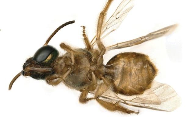 Знайдена перша жива бджола-гермафродит