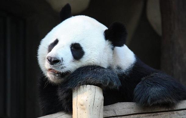 У зоопарку Гонконгу панди спарилися вперше за 10 років через карантин