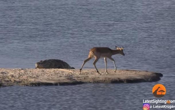Бегемот напал на крокодила с антилопой в пасти