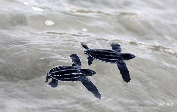 На пляжи Таиланда вернулись редкие черепахи