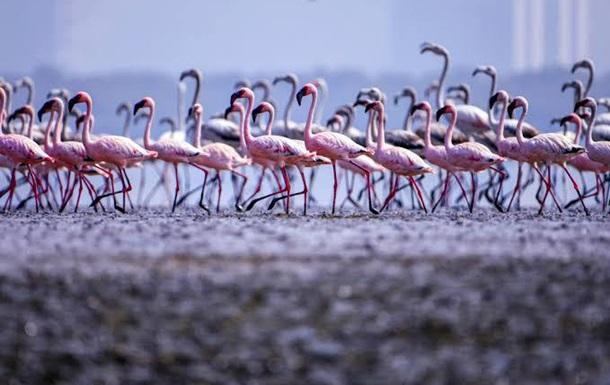 Рожеві фламінго заповнили міста Індії