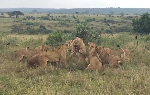 Нападение стаи львиц на льва попало на видео