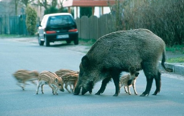 В Берлине перекрыли улицу из-за диких кабанов
