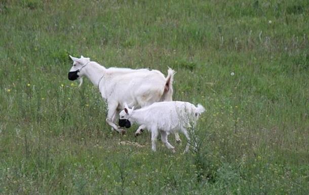 В Днепре на стадо коз надели защитные маски