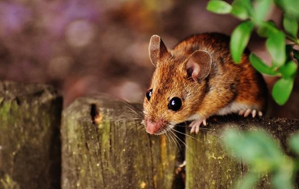 Стало відомо, коли з явилися  домашні  миші