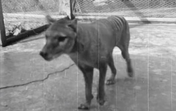 Опубликовано раритетное видео вымершего животного