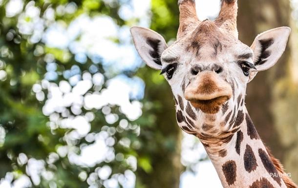 Необычную битву жирафов сняли на видео