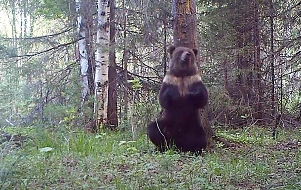 Танец  медведя у дерева попал на видео