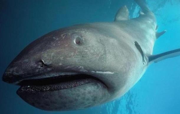 В Японии в сети попала гигантская редкая акула