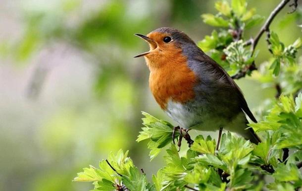 Птахи співають різними діалектами - вчені
