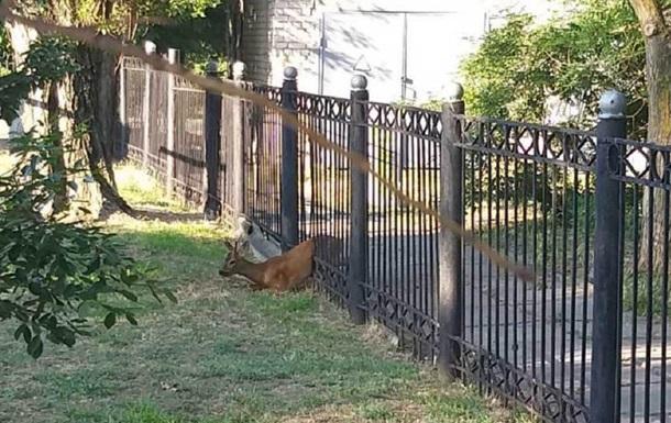 На Херсонщині врятували косулю, яка застрягла в паркані