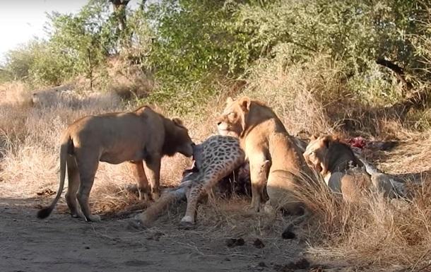 Лев вдарив левицю по морді і потрапив на відео