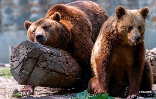 На Сахаліні ведмідь загриз пенсіонерку на дачній ділянці