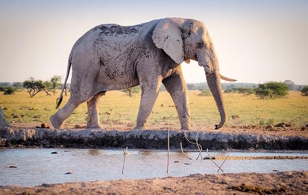 В Африке за месяц загадочно умерли сотни слонов