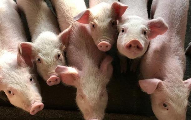 Новий вірус свинячого грипу. Чи загрожує світу ще одна пандемія?