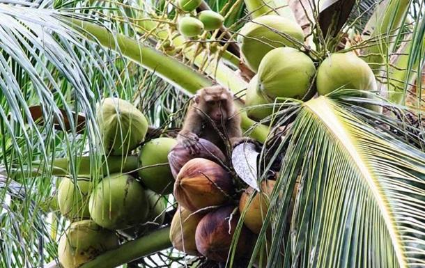 Торговая сеть отказалась от кокосов, собранных порабощенными макаками