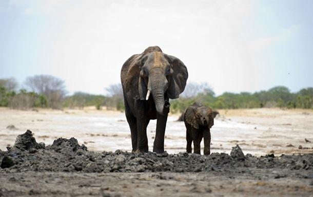 У Ботсвані розслідують масову загибель слонів