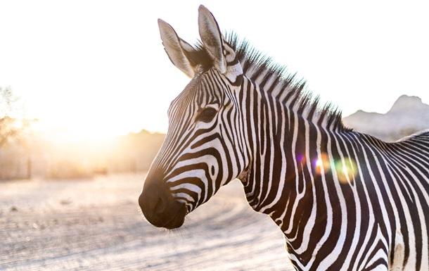 Оптическая иллюзия с зебрами запутала пользователей