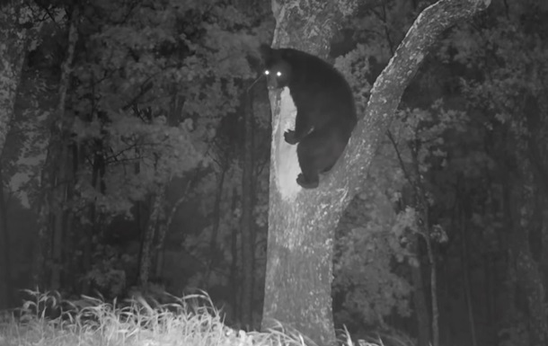 Медведь  попался  на краже меда у диких пчел