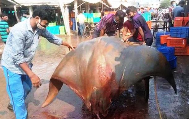 Рыбаки выловили 800-килограммового ската