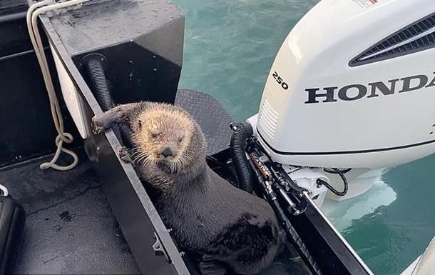 Выдра спаслась от косаток в лодке с людьми