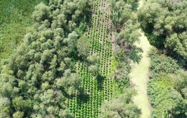 В Одесской области выявили 60 тысяч  квадратов  конопли