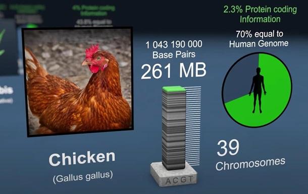 На 70% вы - курица: в сети показали видео о генах