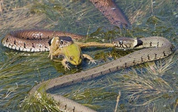 Фотограф снял драку голодных змей за лягушку