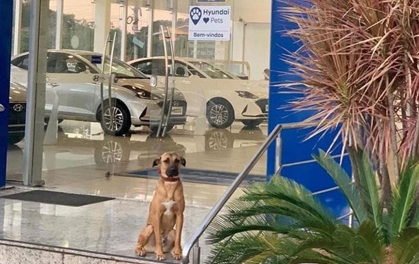 Бездомную собаку приняли на работу в автосалон: фото