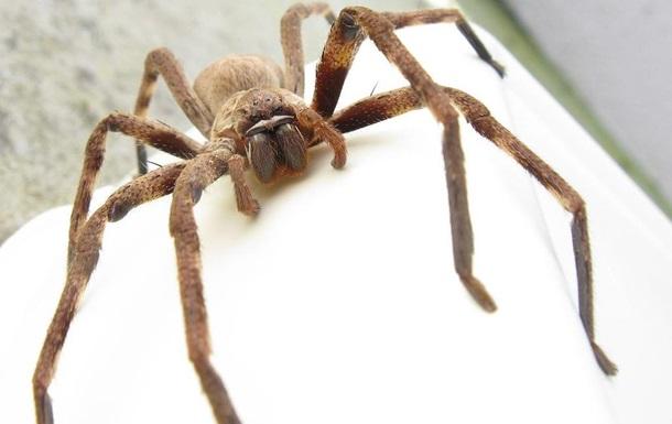 Павук-мисливець подзвонив у двері австралійцю і всю ніч не давав йому спати