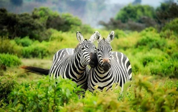 Розвінчано міф про смуги на шкірі зебри