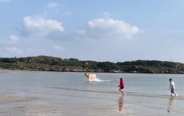 В Ірландії корова виплила з моря на пляж