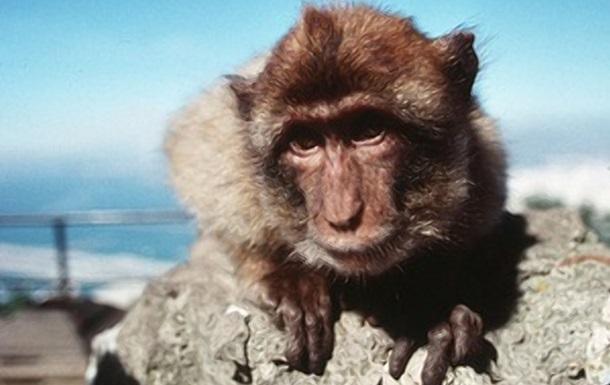 Человеческий  поцелуй обезьян попал на видео