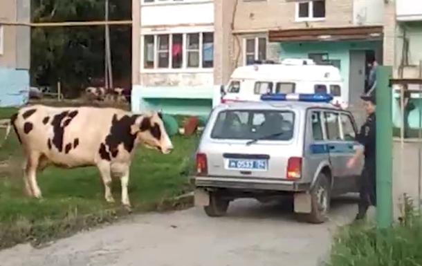 Стадо коров атаковало жилой двор