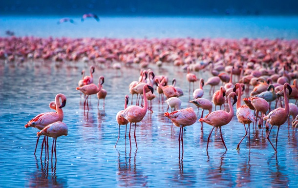 Розовые фламинго через 8 лет вернулись на озеро в Кении